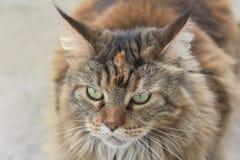 Sad cat lies. Sad cat portrait. Pet relax royalty free stock image