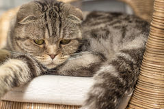 Sad cat lies on a rattan chair. And looking down Royalty Free Stock Photo