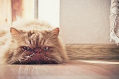 Sad cat. A sad, pensive cat lying on the floor and phlegmatically watching what is happening stock photos