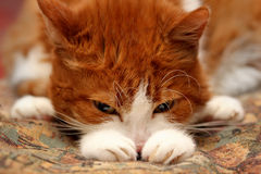 Cute Sad Cat. Portrait of cute sad cat lying at home royalty free stock image