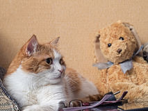 Sad cat. Portrait of yellow sad sick cat lying at home with rabbit toy Royalty Free Stock Image