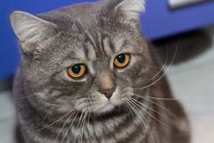 Sad cat Ritchie Royalty Free Stock Photography