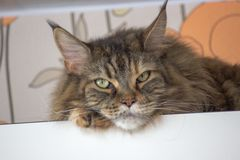 Sad cat on the top shelf. Relaxing cat . Maincoon big cat. Colored cat with green eyes. Relaxing stock photo