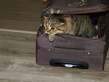 Beautiful British cat is trying to get out of the suitcase. stock photos