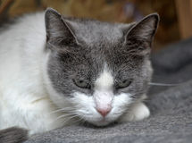 Sad  cat Royalty Free Stock Photography