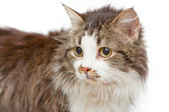 Sad cat on white islated background. Sad cat with yellow eyes on white islated background stock photography