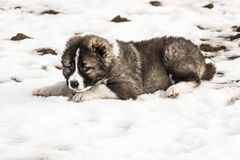 Sad Caucasian shepherd dog. Is lying in the snow royalty free stock photos