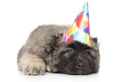 Sad Central Asian Shepherd puppy in party cone Royalty Free Stock Photos