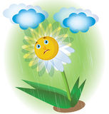 Sad chamomile. In the rain vector illustration