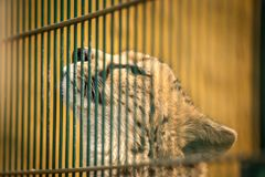 Sad cheetah closed behind the bars in a cage. Sad cheetah closed behind the bars in a cage - zoo royalty free stock photos