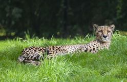 Sad cheetah laying on the green grass in a zoo park Stock Photo