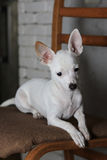 Sad Chihuahua. Sad little white Chihuahua lie on a wood chair with lowered eyes Royalty Free Stock Photo
