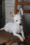 Sad Chihuahua Royalty Free Stock Photo