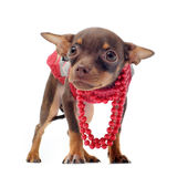 Sad chihuahua with pearl collar Royalty Free Stock Images