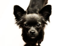 Sad chihuahua puppy Royalty Free Stock Images