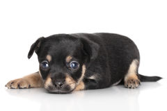 Sad Chihuahua puppy lying Stock Photos