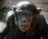Sad chimp Stock Photo