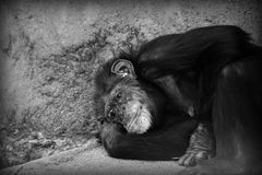Sad chimp resting. Sad female chimpanzee resting at local zoo Royalty Free Stock Images