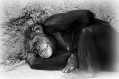 Sad chimp resting Stock Photos