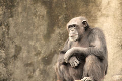 Sad Chimpanzee Royalty Free Stock Photos