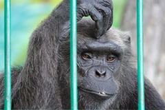 Sad chimpanzee Stock Photo