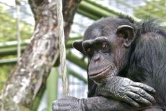 Sad chimpanzee. Thinking about his life Royalty Free Stock Images