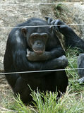 Sad chimpanzee. Bonobo looking into the camera at the zoo stock images