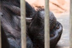 Sad chimpanzee in cage stock images