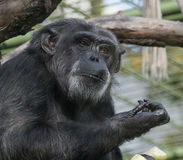 Sad Chimpanzee Portrait Royalty Free Stock Photos