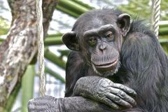 Sad Chimpanzee thinking about his life. Sad Chimpanzee sitting in its cage thinking about its life royalty free stock photography