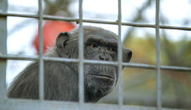 Sad chimpanzee at zoo. Old and sad chimpanzee in a cage in at zoo stock photos
