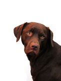 Sad choccie lab Stock Photography