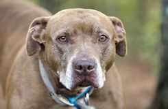 Sad Chocolate Labrador and Mastiff mix breed dog. Older brown mix breed dog with gray muzzle outside on leash. Dog rescue pet adoption photography for Walton stock photo