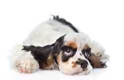 Sad Cocker Spaniel puppy lying and looking up. isolated on white Royalty Free Stock Images