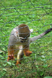 Sad common squirrel monkey. Imprisoned sad common squirrel monkey wants to go out stock photography