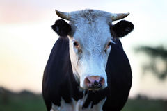 Sad cow Royalty Free Stock Photography