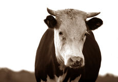 Sad cow Royalty Free Stock Photos