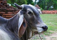 Sad Cow Natives Countryside in Thailand. Sad Cow Natives Countryside in Ayutthaya of Thailand Stock Photography