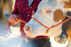 Sad cow tied by a cowboy in a farm Royalty Free Stock Photos