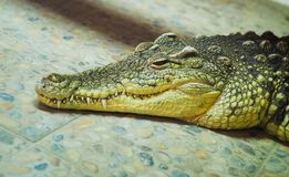 Sad crocodile lying n stock image