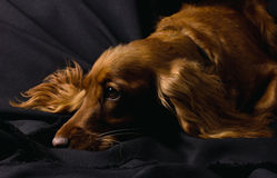 Sad cute cocker spaniel Stock Photography