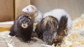 Sad, cute ferret, petting zoo stock photography