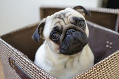 Free Sad Cute Small Puppy Pug Hiding In The Brown Box Royalty Free Stock Images - 107920949