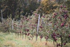 Sad czerwieni jabłonie zdjęcie royalty free