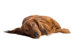 Sad Dachshund. Brown long-haired Dachshund with sad facial expression lying and staring. Image isolated on white background Stock Photo