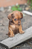 Sad dachshund puppy Stock Photo