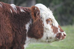 Sad Dairy Cow. Profile of a sad or tired looking cow Royalty Free Stock Photo