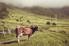 Sad dairy cow look at camera. Farm animal. Rural landscape. Farming concept. Clouds descending over georgian meadow. Copy space. G Royalty Free Stock Image