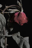 Sad Dead or Wilting Red Rose on Black Royalty Free Stock Photography