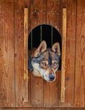 Sad and Deep Look of Husky Dog Royalty Free Stock Images